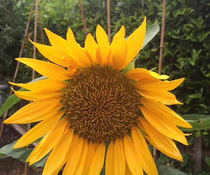sunflowers - millie knight